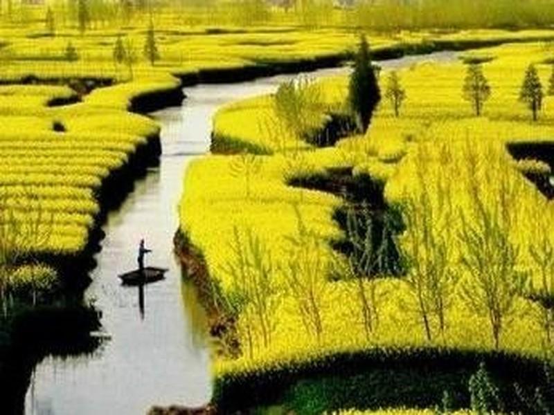 【千岛菜花景区图片】千岛菜花景区风景图片,照片_途牛